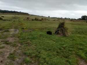 Healthy mother wombat in Woolnorth